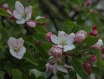 Malus – Apfelbaum in Blüte