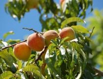 Prunus persica – Pfirsisch