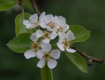 Pyrus – Birnenblüte
