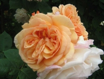 Rosa – Englische-Duftrose – apricot