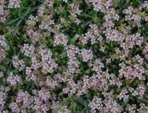 Ptilotrichum spinosum – Dorniges Steinkraut