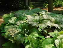 Rodgersia Podophylla – Schaublatt