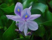 Eichhornia crassipes – Wasserhyazinthe