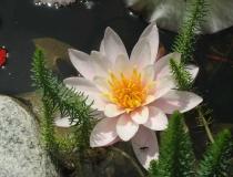 Nymphaea alba – weiße Seerose