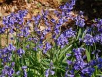 Hyacinthoides non scripta – Hasenglöckchen