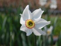 Narcissus poeticus – Dichternarzisse